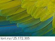 Купить «Great Green Macaw (Ara ambiguus) close up of feathers,  El Manantial Macaw Sanctuary, Costa Rica. Captive.», фото № 25172305, снято 23 июля 2019 г. (c) Nature Picture Library / Фотобанк Лори