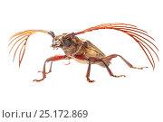 Longhorn beetle (Cerambycidae) Danum Valley, Sabah, Borneo. Стоковое фото, фотограф Alex Hyde / Nature Picture Library / Фотобанк Лори