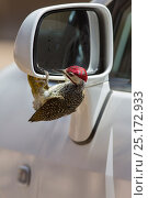 Купить «Bennett's woodpecker (Campethera bennettii) attacking its reflection in car wing mirror, Kruger National Park, South Africa.», фото № 25172933, снято 17 августа 2018 г. (c) Nature Picture Library / Фотобанк Лори