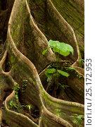 Купить «Buttress roots from huge tree (Shorea sp) Danum Valley, Sabah, Borneo.», фото № 25172953, снято 23 марта 2019 г. (c) Nature Picture Library / Фотобанк Лори