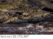Купить «Nile crocodiles (Crocodylus niloticus) resting on rocks. Maasai Mara National Reserve, Kenya.», фото № 25173397, снято 15 октября 2019 г. (c) Nature Picture Library / Фотобанк Лори