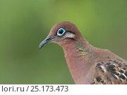 Galapagos dove (Zenaida galapagoensis) portrait, Galapagos. Стоковое фото, фотограф Tui De Roy / Nature Picture Library / Фотобанк Лори