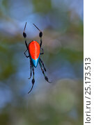 Купить «Long-jawed orb weaver (Opadometa sp) spider in web. Maliau Basin, Sabah, Borneo.», фото № 25173513, снято 25 января 2020 г. (c) Nature Picture Library / Фотобанк Лори