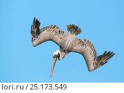 Купить «Brown pelican (Pelecanus occidentalis) diving in flight, Galapagos», фото № 25173549, снято 17 июля 2019 г. (c) Nature Picture Library / Фотобанк Лори