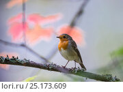Купить «European robin (Erithacus rubecula) adult with autumn leaves in background, Punkaharju, Etela-Savo / Southern Savonia, Ita-Suomi / Eastern Finland, Finland. September», фото № 25173609, снято 18 марта 2019 г. (c) Nature Picture Library / Фотобанк Лори
