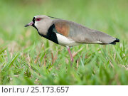 Male Southern Lapwing (Vanellus chilensis) displaying in grasslands. Chapada dos Guimaraes, Brazil, South America. Стоковое фото, фотограф Nick Garbutt / Nature Picture Library / Фотобанк Лори