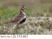 Купить «Male European golden plover (Pluvialis apricaria) standing amongst lichens on the tundra. Godafoss, Akureyri, Iceland. August.», фото № 25173861, снято 17 августа 2018 г. (c) Nature Picture Library / Фотобанк Лори