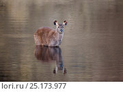 Купить «Sambar deer (Rusa unicolor)  adult female in the lake. Eravikulam National Park, India.», фото № 25173977, снято 24 февраля 2019 г. (c) Nature Picture Library / Фотобанк Лори