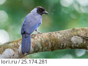 Violaceous Jay (Cyanocorax violaceus), Hato La Aurora Reserve, Los Llanos, Colombia, South America. Стоковое фото, фотограф Nick Garbutt / Nature Picture Library / Фотобанк Лори