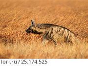 Striped hyena (Hyaena hyaena) in the grasslands. Blackbuck National Park, Velavadar, India. Стоковое фото, фотограф Sandesh Kadur / Nature Picture Library / Фотобанк Лори
