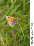 Купить «Small heath butterfly (Coenonympha pamphilus) Hutchinson's Bank, New Addington, South London,  England, UK, May», фото № 25174881, снято 16 октября 2019 г. (c) Nature Picture Library / Фотобанк Лори