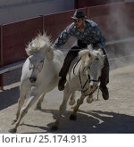 Купить «Stunt rider with two horses,during horse show, Camargue, France», фото № 25174913, снято 24 сентября 2018 г. (c) Nature Picture Library / Фотобанк Лори