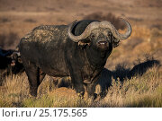 Buffalo (Syncerus caffer) portrait, private game ranch. Great Karoo, South Africa. Стоковое фото, фотограф Pete Oxford / Nature Picture Library / Фотобанк Лори