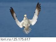 Купить «Gannet (Morus bassanus) in flight landing in the colony, Bass Rock, Scotland, UK, July.», фото № 25175617, снято 21 января 2020 г. (c) Nature Picture Library / Фотобанк Лори