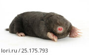 Купить «European mole (Talpa europaea) on white background. Captive, occurs in Europe.», фото № 25175793, снято 18 июля 2018 г. (c) Nature Picture Library / Фотобанк Лори