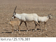 Купить «Arabian oryx (Oryx leucoryx) calf and adult, Oman, November. Taken within large enclosure within protected area.», фото № 25176381, снято 16 января 2018 г. (c) Nature Picture Library / Фотобанк Лори