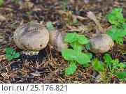 Купить «Common Earth Balls (Scleroderma citrina) Brockley cemetery, Lewisham, South East London, England, UK, October», фото № 25176821, снято 20 августа 2018 г. (c) Nature Picture Library / Фотобанк Лори