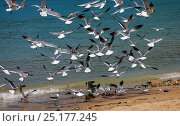 Купить «Laughing gulls (Larus atricilla) descending on fish guts discarded on the beach. Tobago, West Indies.», фото № 25177245, снято 20 июля 2019 г. (c) Nature Picture Library / Фотобанк Лори