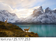 Купить «Two Guanacos (Lama guanicoe) at edge of lake with Cuernos del Paine beyond. Torres del Paine National Park, Chile, June 2014.», фото № 25177253, снято 9 июля 2018 г. (c) Nature Picture Library / Фотобанк Лори