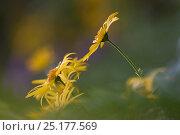 Купить «Arnica flower (Arnica montana) Cantal, France, July.», фото № 25177569, снято 26 июня 2019 г. (c) Nature Picture Library / Фотобанк Лори