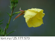 Купить «Evening-primrose (Oenothera biennis) flower, Vosges, France, July.», фото № 25177573, снято 23 июля 2018 г. (c) Nature Picture Library / Фотобанк Лори