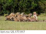 Купить «Lionesses (Panthera leo) in conflict with large group of Spotted hyaenas (Crocuta crocuta) over kill. Masai-Mara game reserve, Kenya.», фото № 25177917, снято 19 января 2020 г. (c) Nature Picture Library / Фотобанк Лори