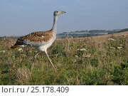 Low wide angle close up of recently released young Great Bustard (Otis tarda) walking on Salisbury Plain farmland. Reintroduced bird reared from eggs collected in Spain, Wiltshire, UK, September 2014. Стоковое фото, фотограф Nick Upton / Nature Picture Library / Фотобанк Лори