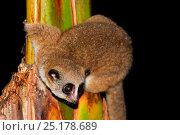 Купить «Furry-eared dwarf lemur (Cheirogaleus crossleyi) Andasibe-Mantadia National Park, Madagascar.», фото № 25178689, снято 21 сентября 2018 г. (c) Nature Picture Library / Фотобанк Лори