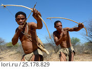 Купить «Naro San Bushmen hunting in the bush with traditional bow and arrows, Kalahari, Ghanzi region, Botswana, Africa. Dry season, October 2014.», фото № 25178829, снято 21 апреля 2020 г. (c) Nature Picture Library / Фотобанк Лори