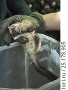 Купить «Adult female Edible / Fat Dormouse (Glis glis), the mother of a large litter of young and showing obvious teats, being held in a leather glove during a...», фото № 25178905, снято 24 октября 2018 г. (c) Nature Picture Library / Фотобанк Лори