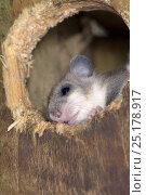 Купить «Edible / Fat Dormouse (Glis glis) peering out of a nestbox attached to a Beech treetrunk in woodland where this European species has become naturalised, Buckinghamshire, UK, August.», фото № 25178917, снято 24 октября 2018 г. (c) Nature Picture Library / Фотобанк Лори