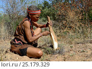 Купить «Naro San woman in the bush, peeling the root of a kombrua plant which is nutritious and thirst-quenching. Kalahari, Ghanzi region, Botswana, Africa. Dry season, October 2014.», фото № 25179329, снято 22 мая 2019 г. (c) Nature Picture Library / Фотобанк Лори