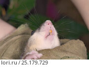 Купить «Adult Edible / Fat Dormouse (Glis glis) showing its teeth while held in a leather glove during a monitoring project in woodland where this European species...», фото № 25179729, снято 24 октября 2018 г. (c) Nature Picture Library / Фотобанк Лори