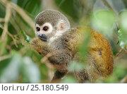 Купить «Squirrel monkey (Saimiri sciureus) feeding, Napo wildlife lodge, Amazonas, Ecuador, South America, April.», фото № 25180549, снято 22 января 2019 г. (c) Nature Picture Library / Фотобанк Лори