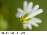 Купить «Greater stitchwort (Stellaria holostea) Vosges, France, April.», фото № 25181205, снято 24 апреля 2018 г. (c) Nature Picture Library / Фотобанк Лори