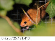 Hazel dormouse (Muscardinus avellanarius) exploring among Hazel branches within a 'soft release' cage, Nottinghamshire, UK, June. Стоковое фото, фотограф Nick Upton / Nature Picture Library / Фотобанк Лори
