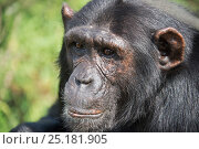 Купить «Chimpanzee (Pan troglodytes) portrait, Ngamba Island Chimpanzee Sanctuary, Lake Victoria, Uganda.», фото № 25181905, снято 25 марта 2019 г. (c) Nature Picture Library / Фотобанк Лори