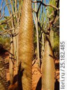 Купить «Spiny tree trunk (Pachypodium sp) Berenty Reserve, Madagascar.», фото № 25182485, снято 21 сентября 2018 г. (c) Nature Picture Library / Фотобанк Лори