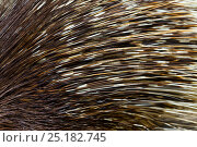 Close up of Porcupine quills (Hystricidae) captive. Стоковое фото, фотограф Juan Carlos Munoz / Nature Picture Library / Фотобанк Лори