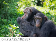 Купить «Chimpanzee (Pan troglodytes) two adults sitting side by side, Ngamba Island Chimpanzee Sanctuary, Lake Victoria, Uganda.», фото № 25182837, снято 25 марта 2019 г. (c) Nature Picture Library / Фотобанк Лори