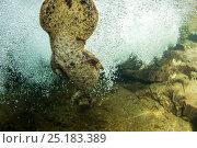 Купить «Japanese giant salamander (Andrias japonicus) male swimming in current. Ichikawa river, Okayama, Japan, September.», фото № 25183389, снято 20 сентября 2018 г. (c) Nature Picture Library / Фотобанк Лори