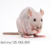 Купить «Sphynx Rat.», фото № 25183393, снято 18 августа 2018 г. (c) Nature Picture Library / Фотобанк Лори