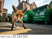 Young urban Red fox (Vulpes vulpes) standing in front of Bristol City Council dustbins. Bristol, UK, September. Стоковое фото, фотограф Sam Hobson / Nature Picture Library / Фотобанк Лори
