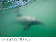 Купить «Maui's dolphin (Cephalorhynchus hectori maui) Critically Endangered, the world's smallest and rarest marine dolphin. Endemic to North Island, New Zealand. October.», фото № 25183705, снято 17 августа 2018 г. (c) Nature Picture Library / Фотобанк Лори