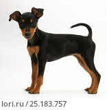 Купить «RF- Miniature Pinscher puppy, standing.», фото № 25183757, снято 25 марта 2019 г. (c) Nature Picture Library / Фотобанк Лори