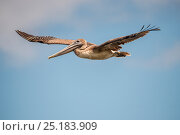 Купить «Brown pelican (Pelecanus occidentalis) in flight, Espumilla beach, Galapagos, Ecuador. April.», фото № 25183909, снято 19 августа 2019 г. (c) Nature Picture Library / Фотобанк Лори