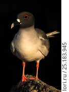 Купить «Swallow-tailed Gull (Creagrus furcatus) at night, Genovesa, The Galapagos Islands. April.», фото № 25183945, снято 17 июля 2019 г. (c) Nature Picture Library / Фотобанк Лори