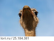 Купить «Common ostrich (Struthio camelus) close up of head, Cabarceno Park, Cantabria, Spain. Captive, occurs in Africa.», фото № 25184381, снято 16 августа 2018 г. (c) Nature Picture Library / Фотобанк Лори