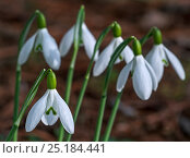 Купить «Common snowdrops (Galanthus nivalis) in flower in early spring, UK, February.», фото № 25184441, снято 19 сентября 2018 г. (c) Nature Picture Library / Фотобанк Лори