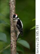 Купить «Downy woodpecker (Picoides pubescens), male. North Florida, USA, April.», фото № 25185781, снято 19 августа 2018 г. (c) Nature Picture Library / Фотобанк Лори